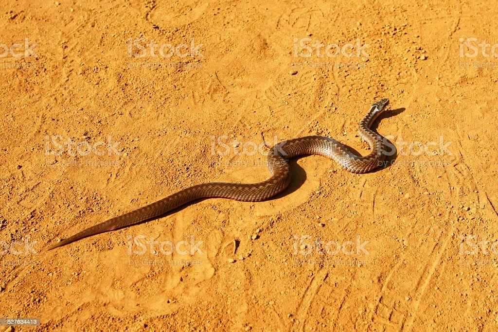 Snake in the desert stock photo