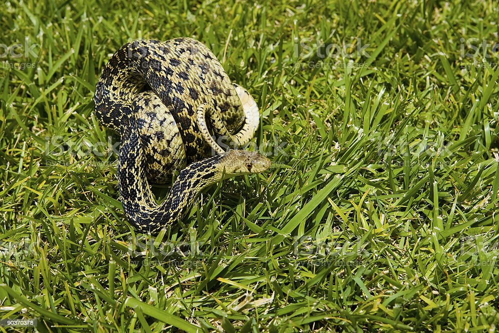 Snake in the grass coiled stock photo