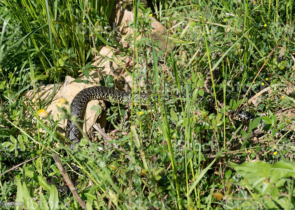 Snake in the grass.  Hierophis viridiflavus. stock photo