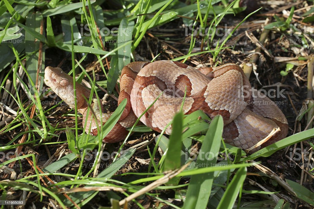 Snake in the Grass royalty-free stock photo