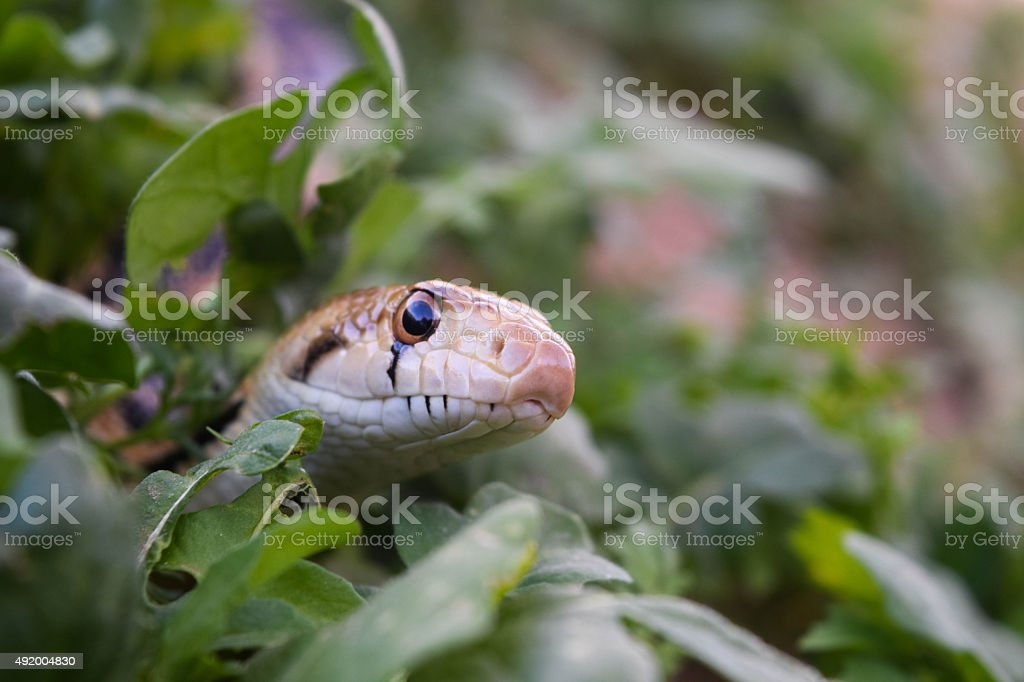 Serpente in erba foto stock royalty-free