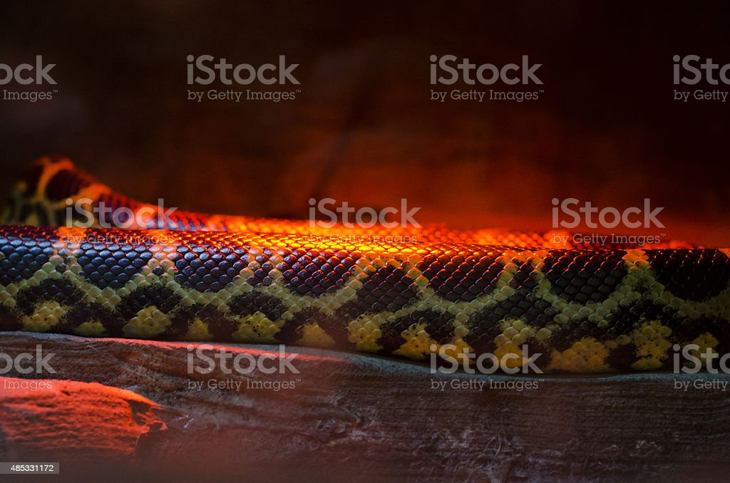 snake in the red light stock photo