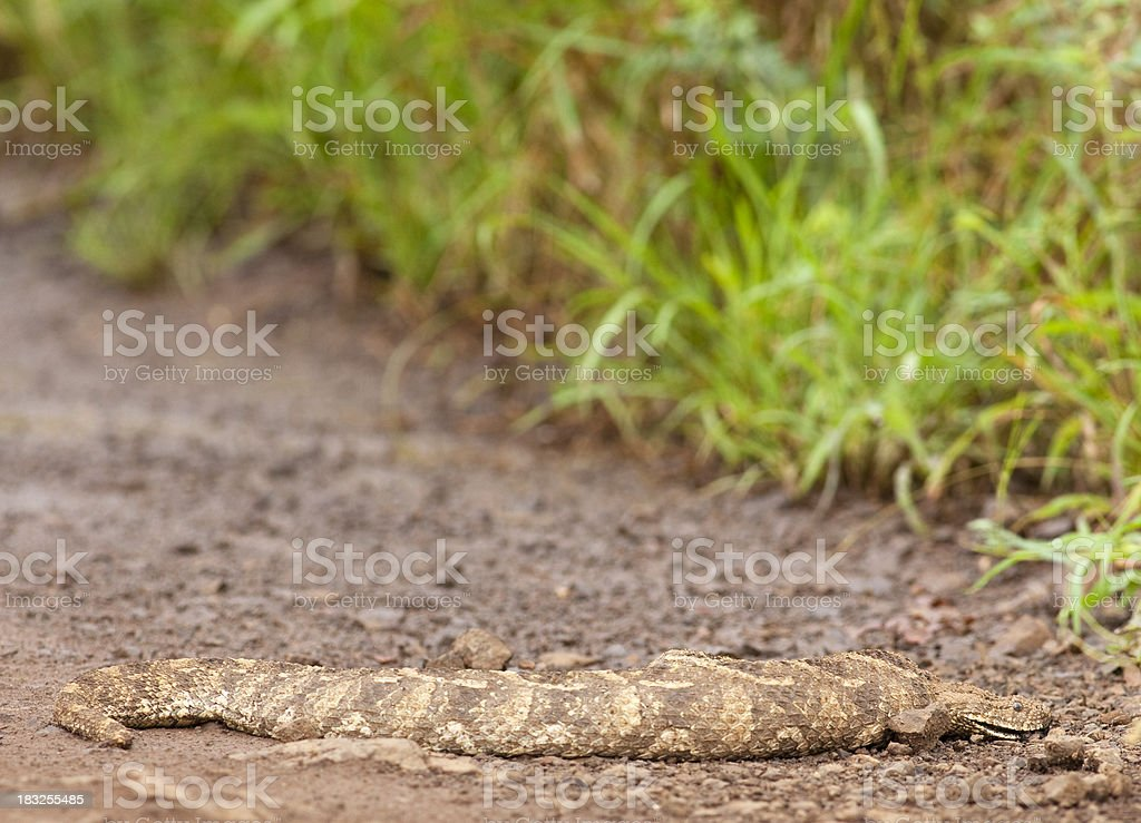 Snake in the wild. royalty-free stock photo