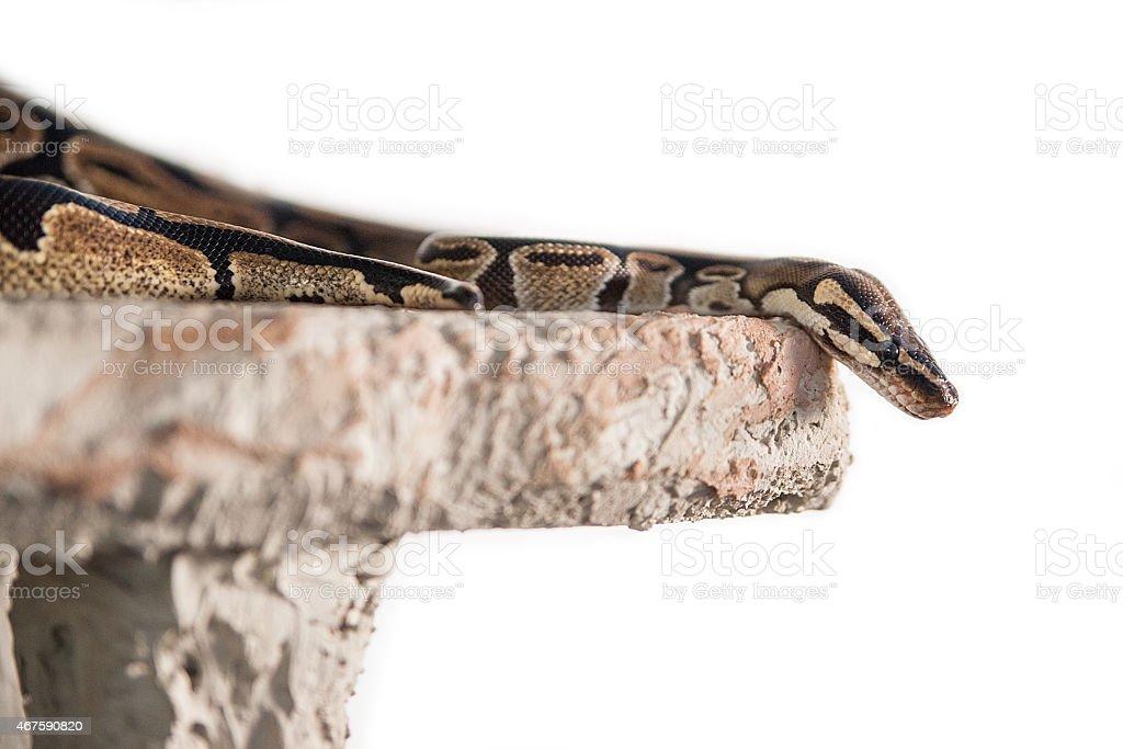 Snake isolated on white background royalty-free stock photo