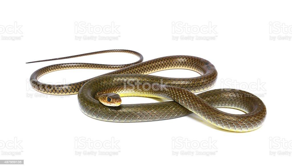 snake isolated on white stock photo