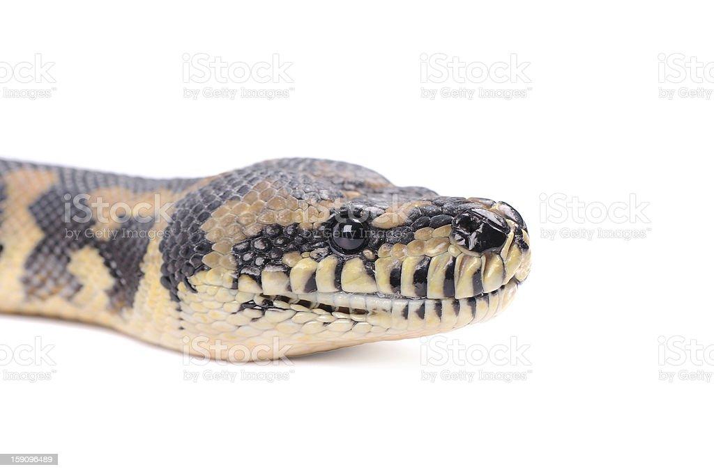 snake isolated over white background royalty-free stock photo