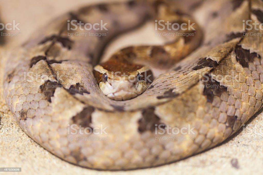 snake king cobra stock photo