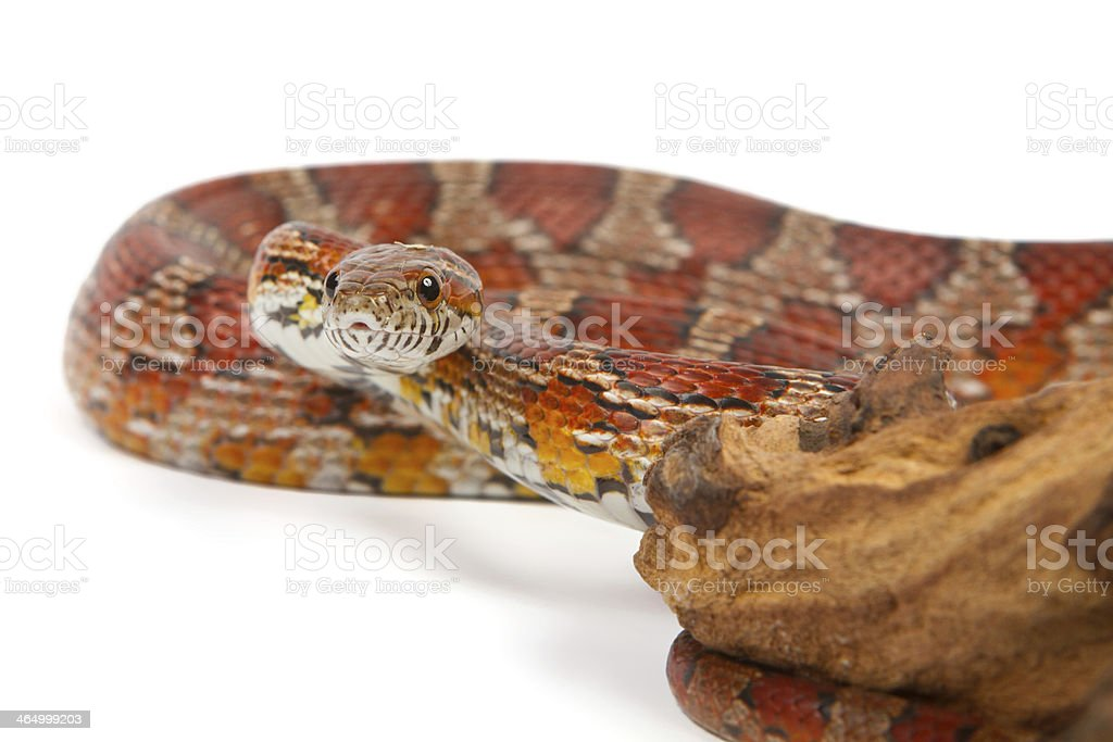 snake on a white background. stock photo