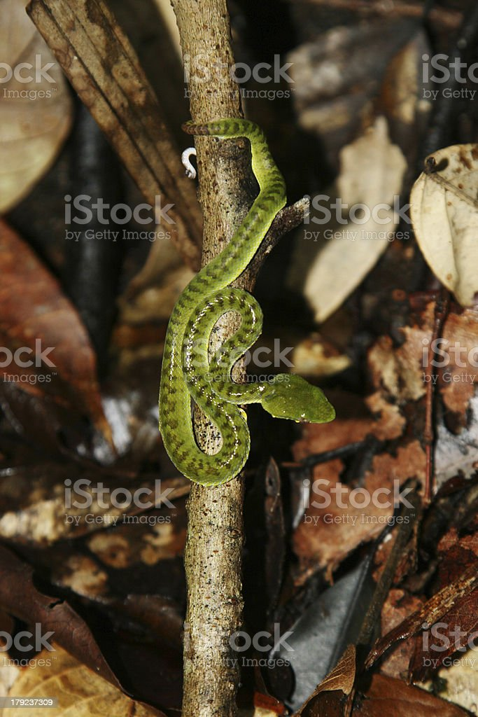 snake on brance royalty-free stock photo