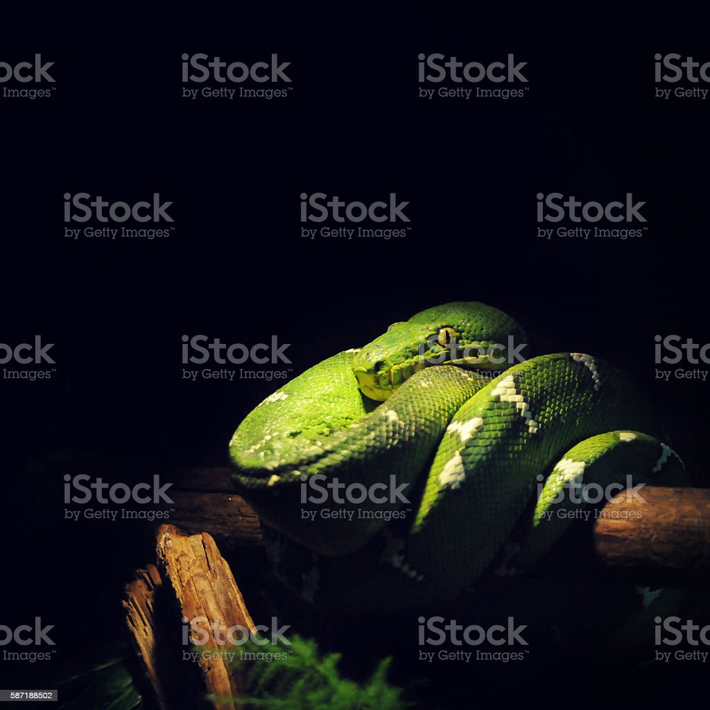 snake on tree branch stock photo