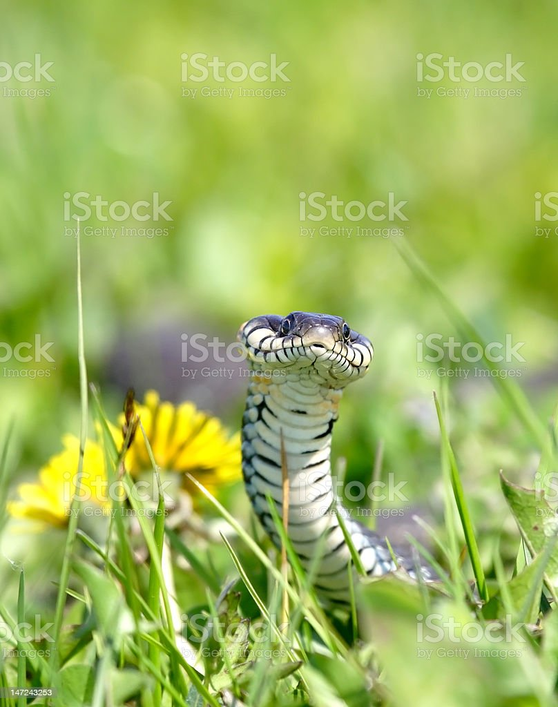 Snake over the green background royalty-free stock photo