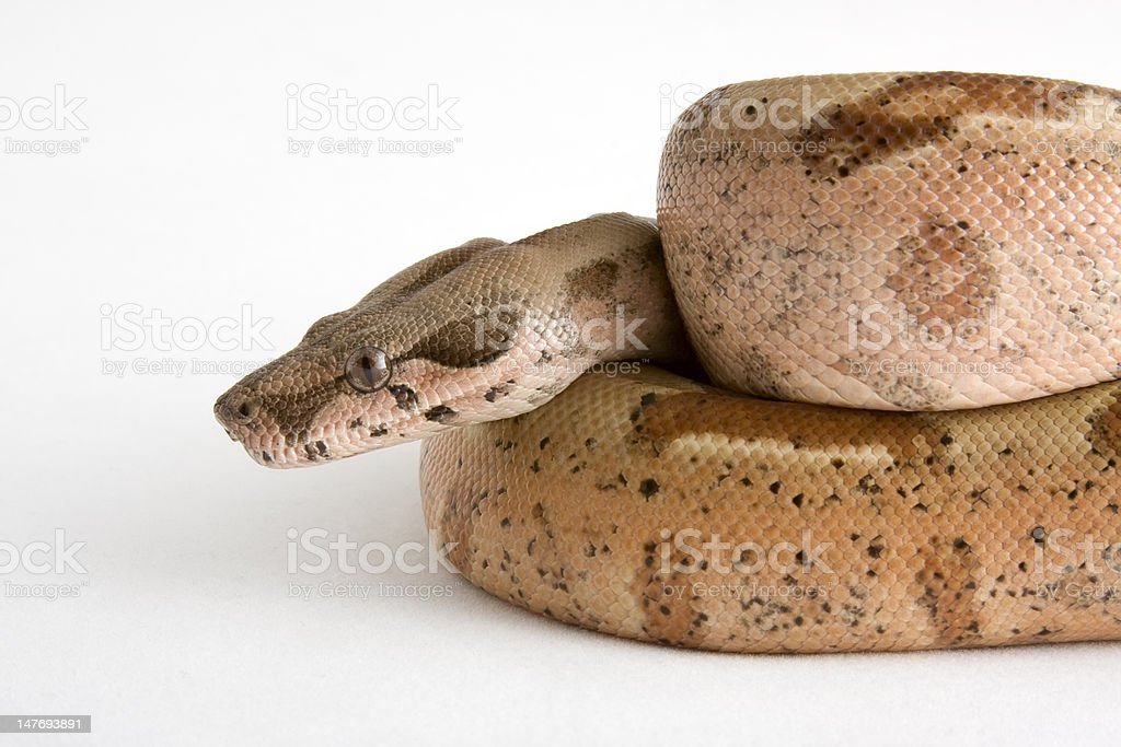 Snake (Boa Constrictor Morph) royalty-free stock photo