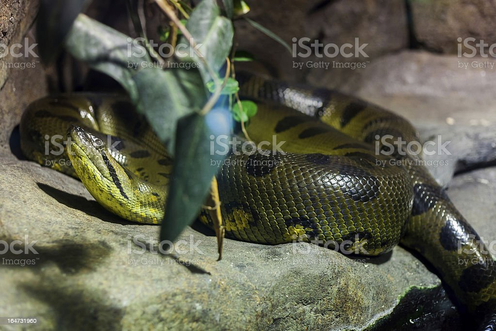 Snake royalty-free stock photo
