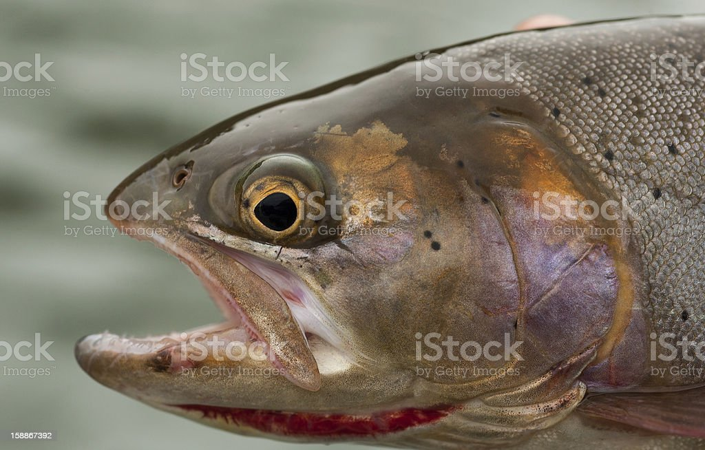 Snake River Cutthroat royalty-free stock photo