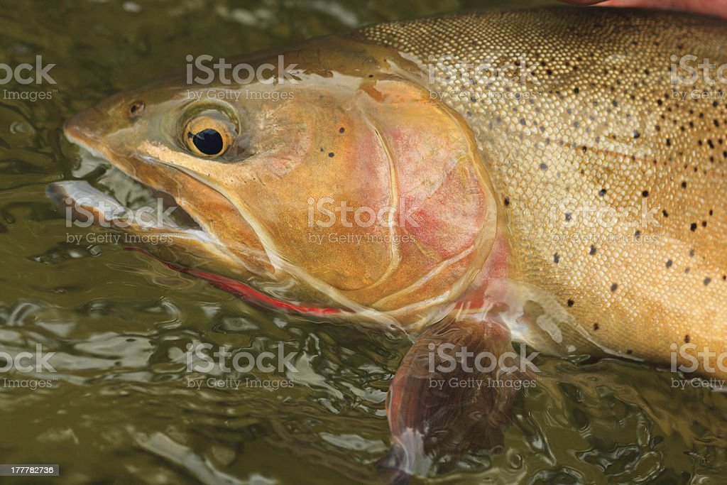 Snake River Cutthroat Trout royalty-free stock photo