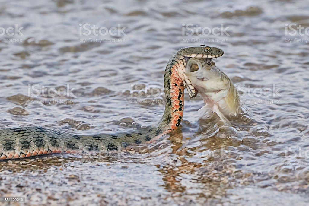 Snake River Natrix reptil stock photo