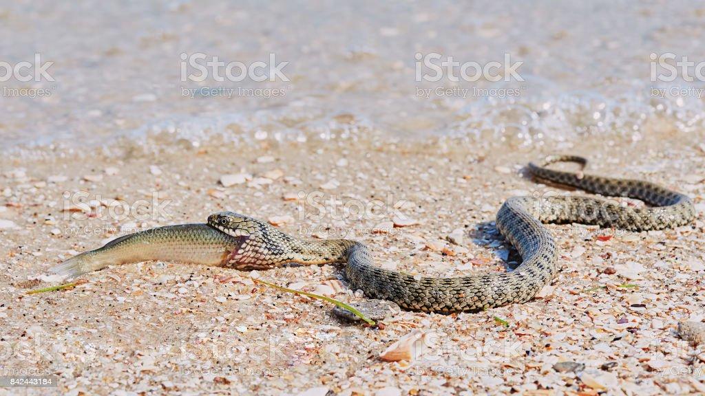 Snake River Natrix reptile stock photo