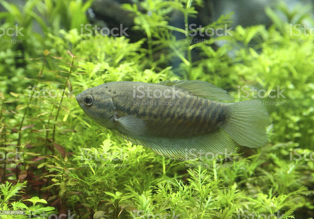 Snake skin gourami (Trichogaster pectoralis) royalty-free stock photo