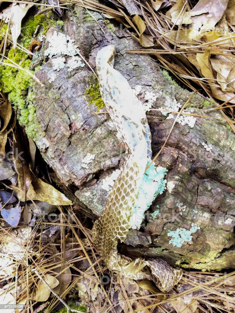 Snake skin resting on a rotting tree branch stock photo