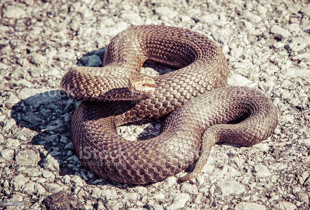 Snake - Vipera Berus stock photo