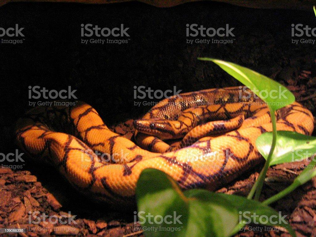 Snake Yellow royalty-free stock photo