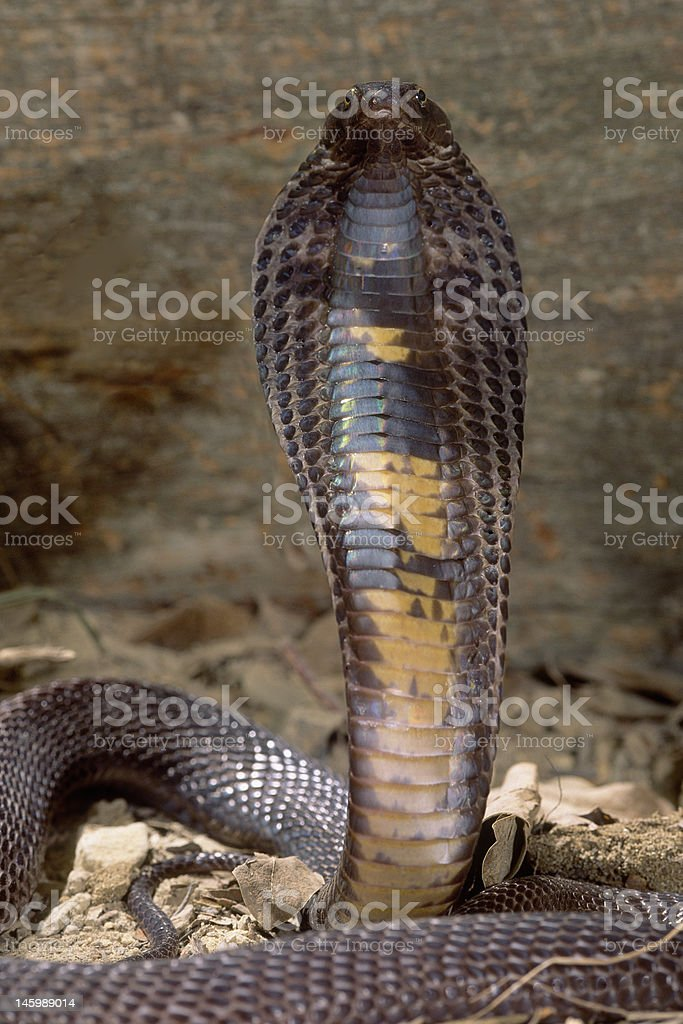 Snake-Black Pakastani cobra royalty-free stock photo
