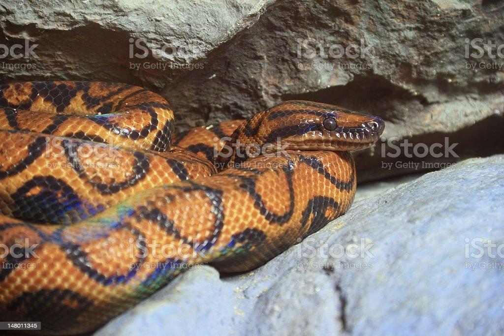 Snake,Brazilian rainbow Boa  ( Epicrates cenchia) stock photo