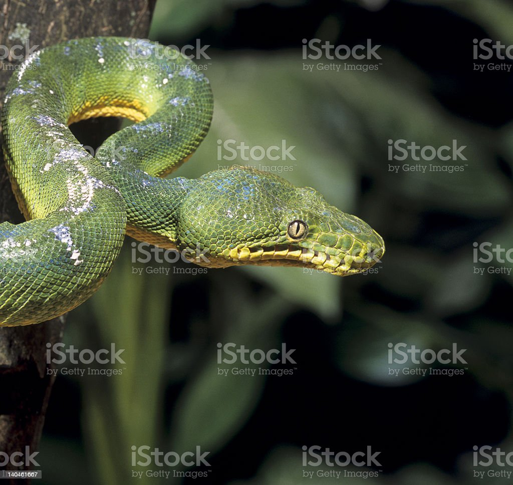 Snake-Emerald tree boa royalty-free stock photo