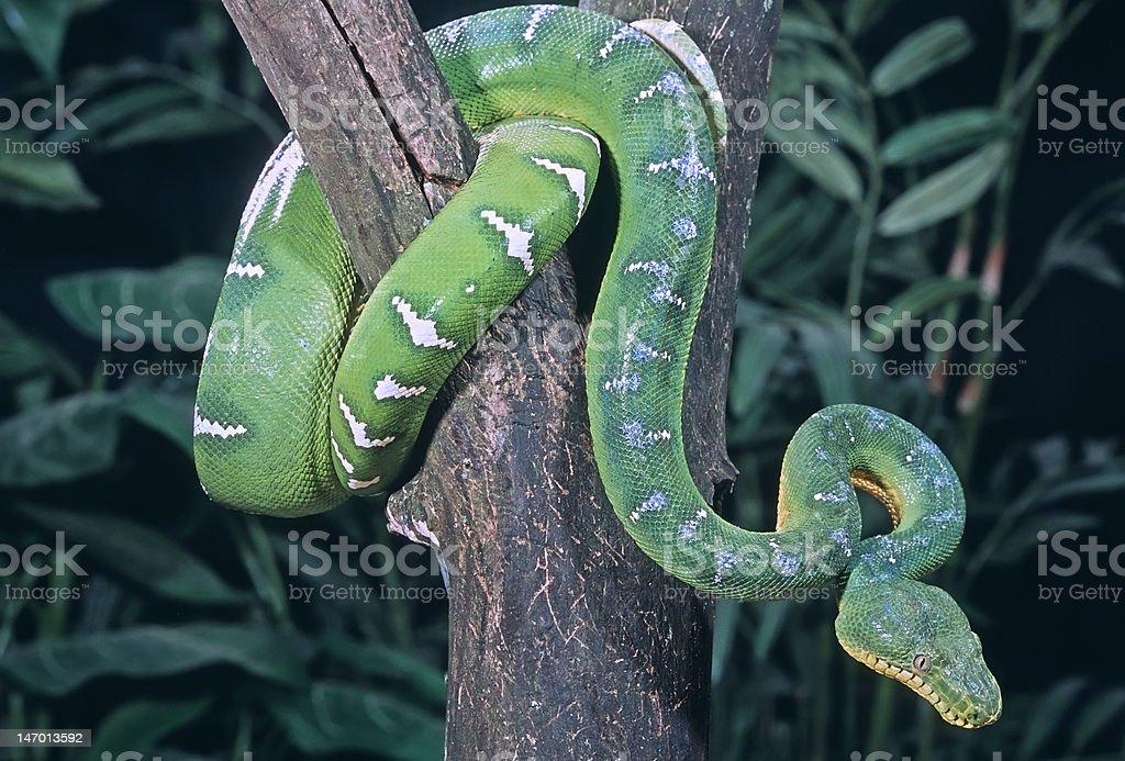 Snake-Emerald tree boa royalty-free stock photo