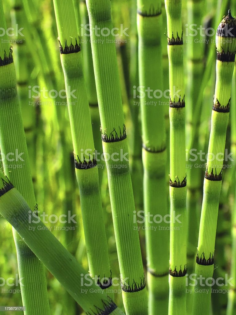 Snakegrass royalty-free stock photo