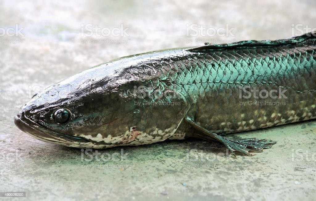 snakehead fish on cement background stock photo
