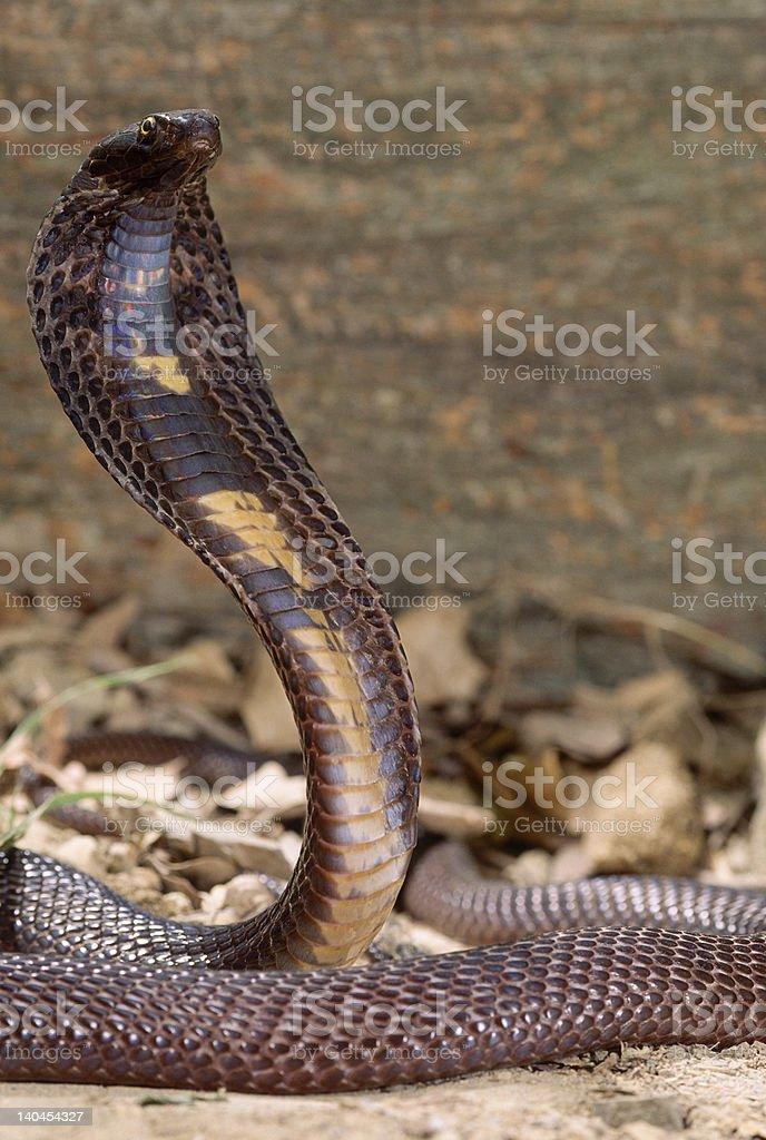 Snake-Pakastani cobra stock photo