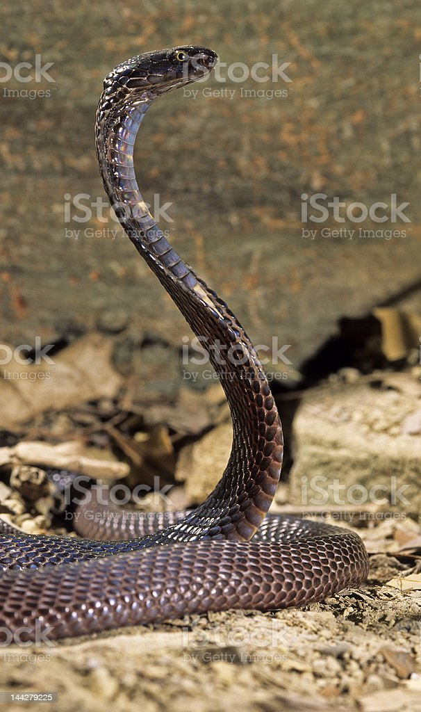 Snake-Pakastani cobra royalty-free stock photo