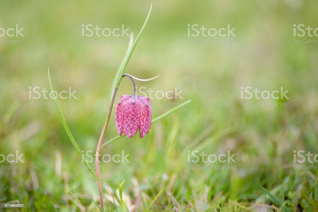 Snake's head fritillary bloomed stock photo