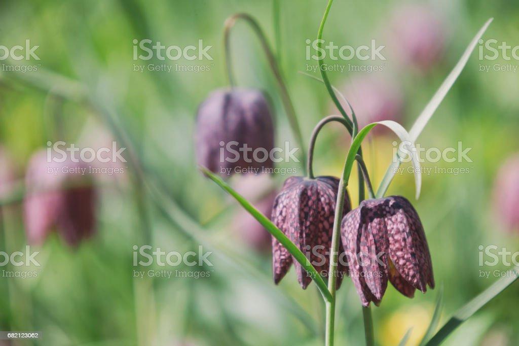 Snake's head fritillary - Chess flower stock photo