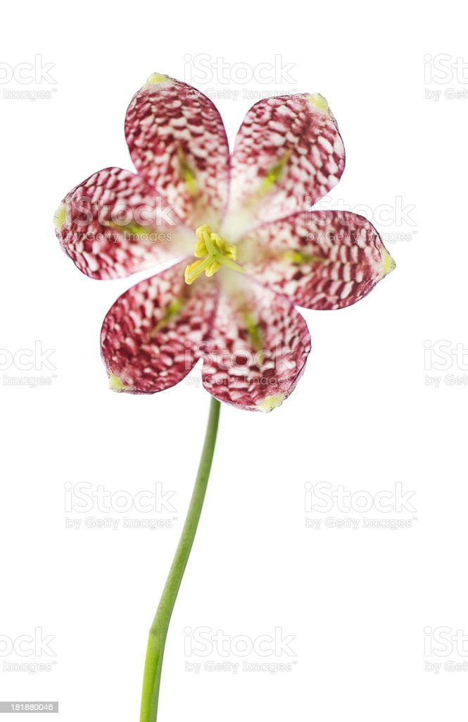 Snake's Head Fritillary Flower (Fritillaria meleagris ). stock photo