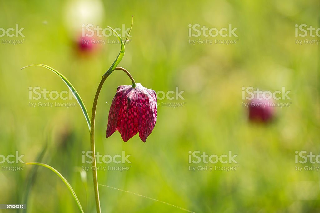 Snake's head fritillary flower stock photo