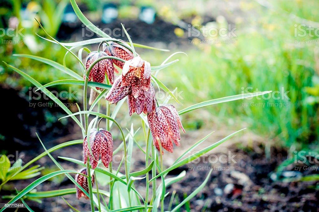 Snake's Head Fritillary, Fritillaria meleagris stock photo