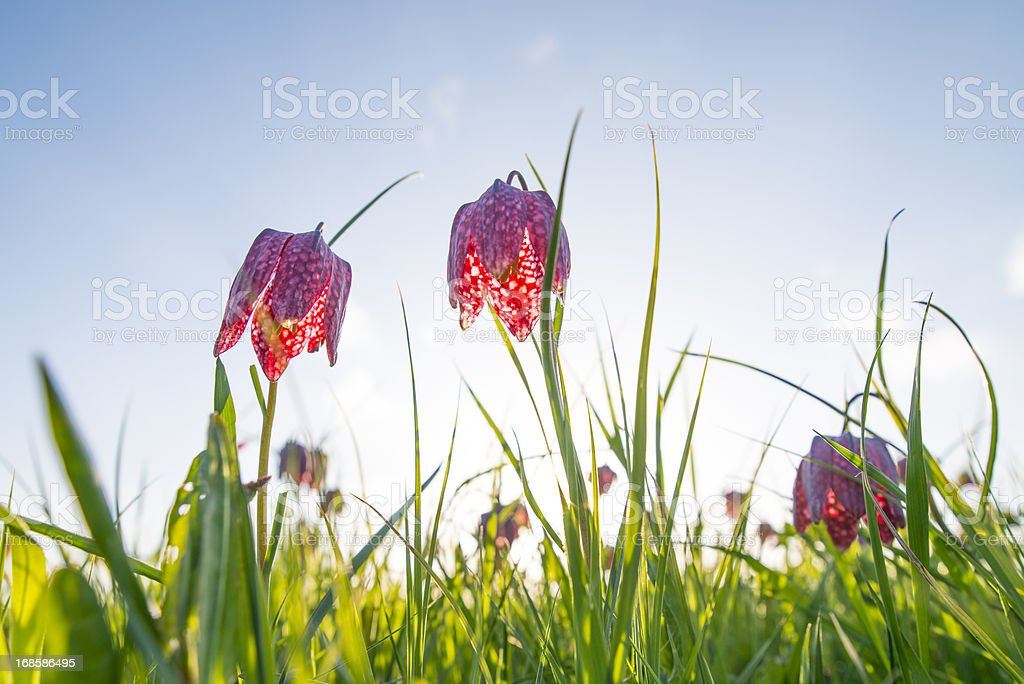Snake's head fritillary stock photo