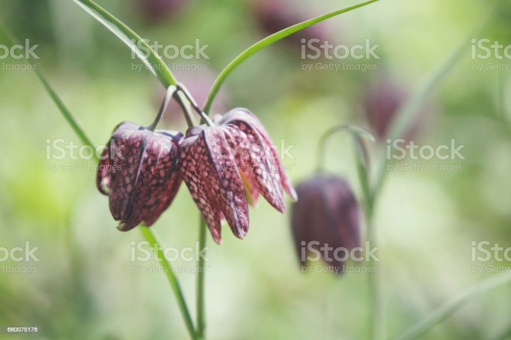 Snake's head fritillary (fritillaria meleagris) stock photo