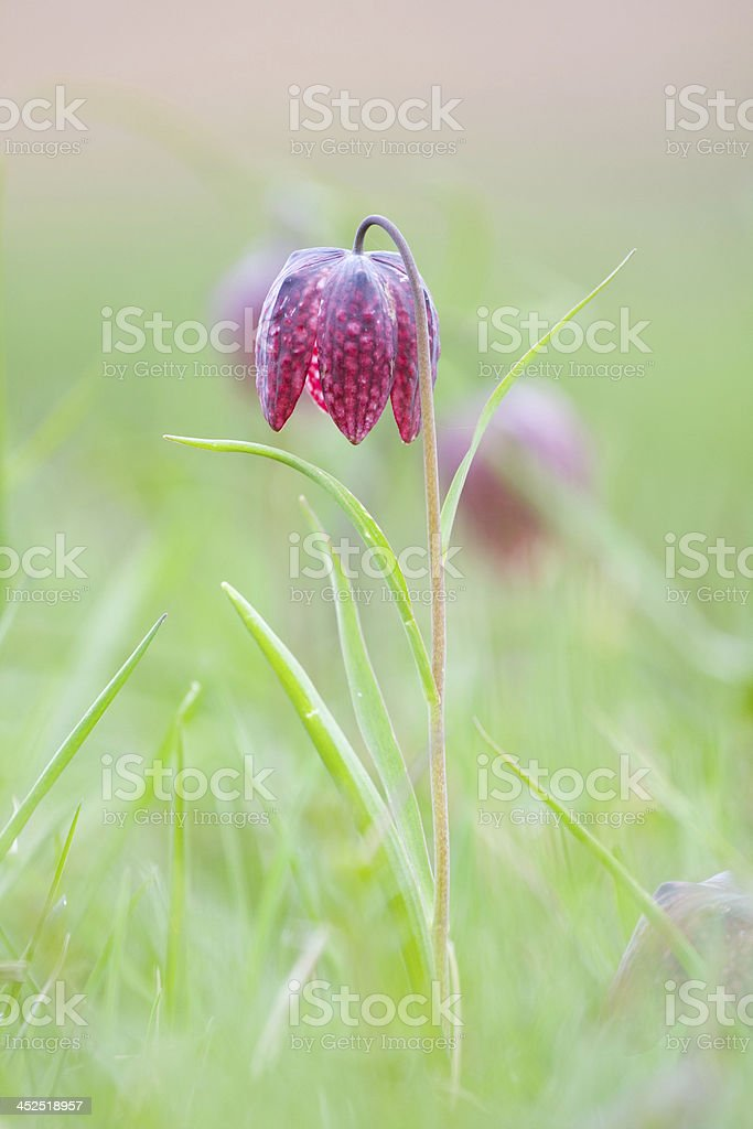 Snake's Head Fritillary (Fritillaria meleagris) with the morning dew stock photo