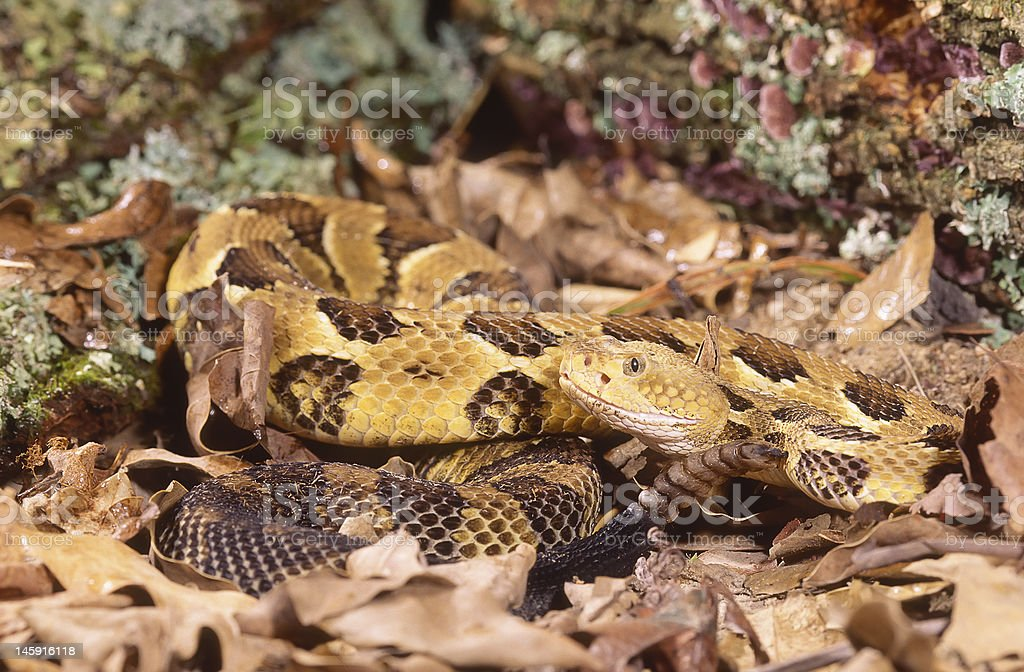 Snake-Timber rattlesnake stock photo