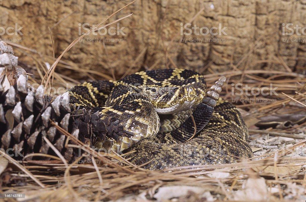 Snake-Timber rattlesnake (crotalus horridus) stock photo
