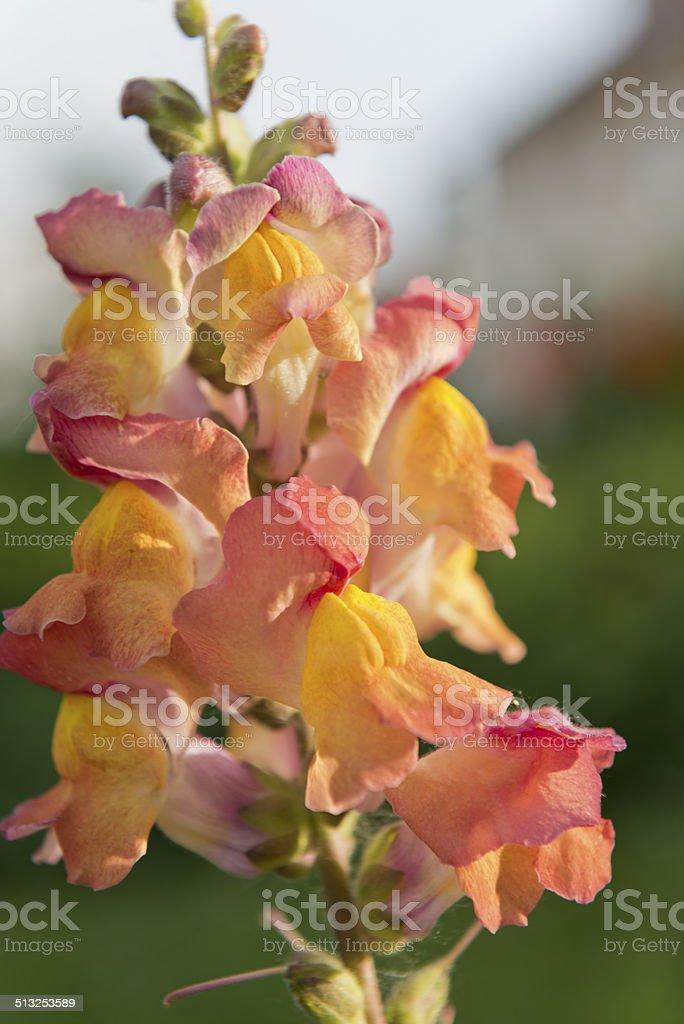Snapdragons [genus Antirrhinum] stock photo