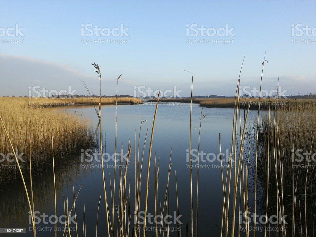 Snape reeds stock photo