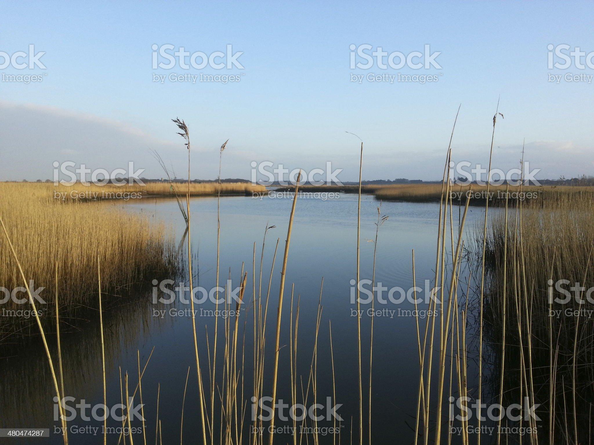Snape reeds royalty-free stock photo