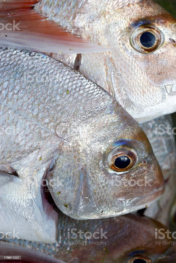 Snapper, a day's catch royalty-free stock photo