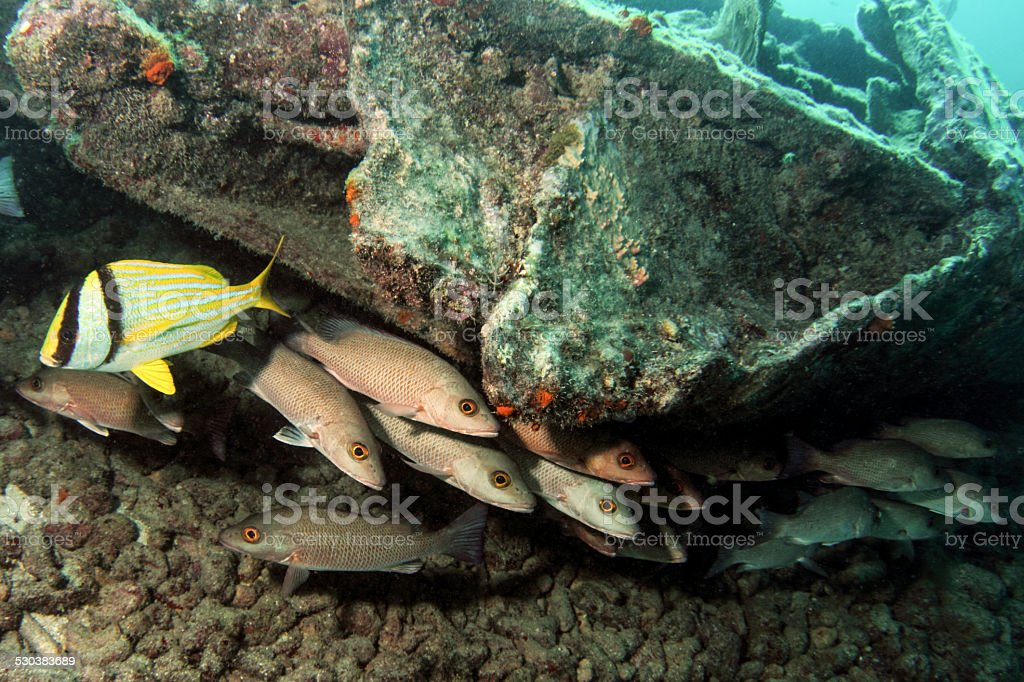 Snapper and Porkfish stock photo