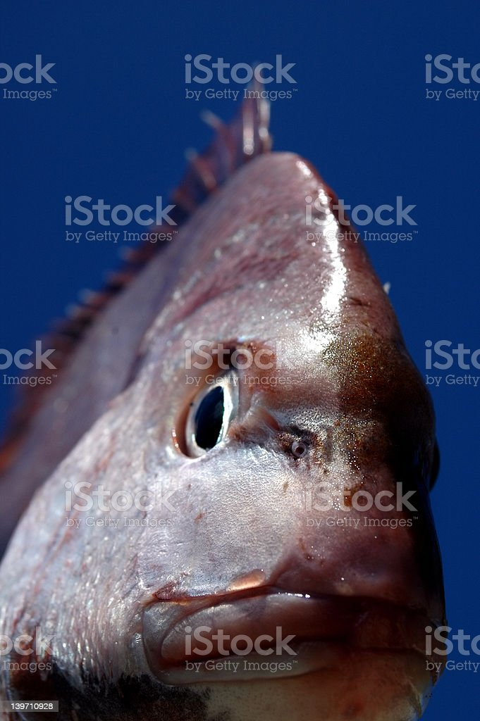 Snapper Close up royalty-free stock photo