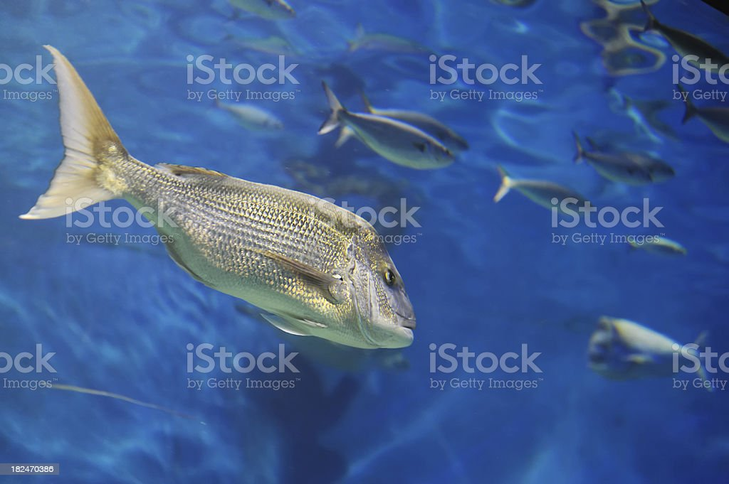 Snapper Fish Swimming stock photo